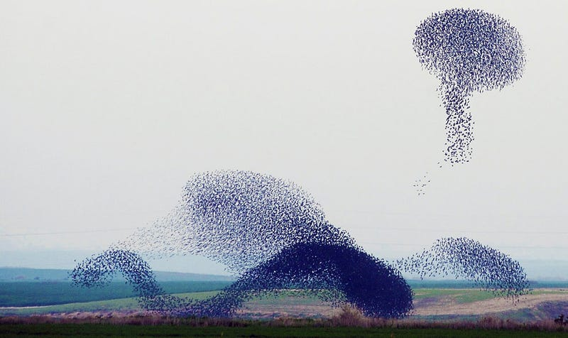 Illustration for article titled These breathtaking videos of starling murmurations defy belief