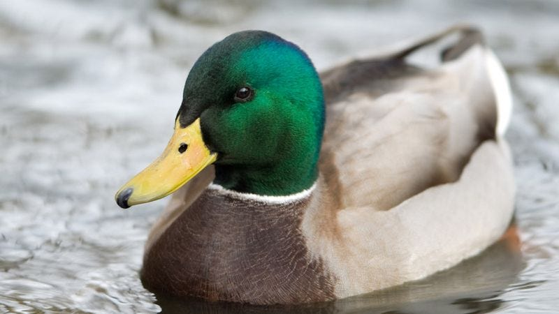 "The duck claims that ""big names—household names"" are involved in the multi-tiered conspiracy."
