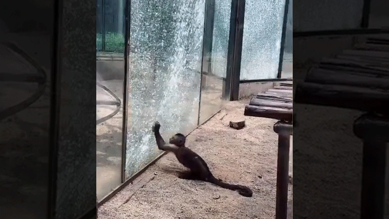 Monkey Shatters Zoo Glass With Sharpened Stone in Impressive Prison Break Attempt