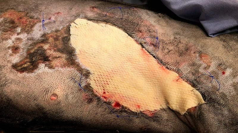 Stella's burn wounds were healed with the help of an experimental skin graft made from descaled cod fish, seen above, according to Michigan State University vets.