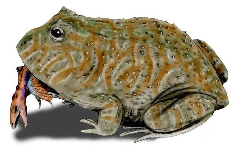 Ilustración con el aspecto de la Beelzebufo ampinga. Imagen: Wikipedia.