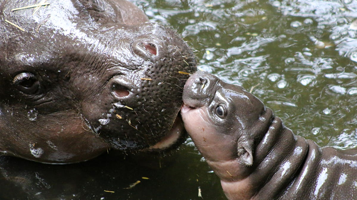 Image result for cute little hippo babies pic