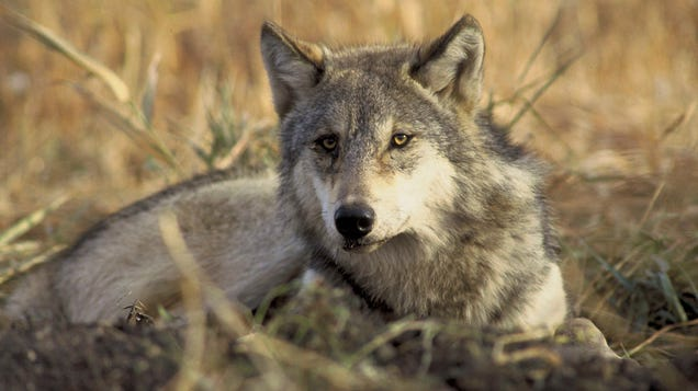 Colorado Is Getting Its Wolves Back After Voters Approve Historic Law