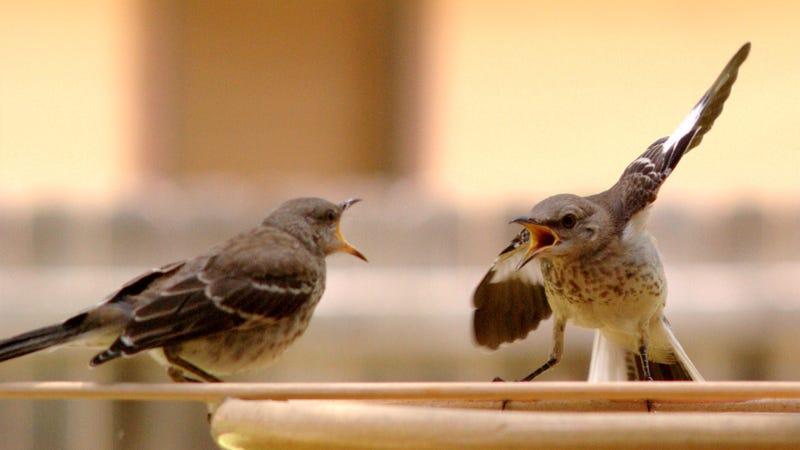 Dos pájaros discutiendo (o eso parece). Imagen: Wikimedia Commons