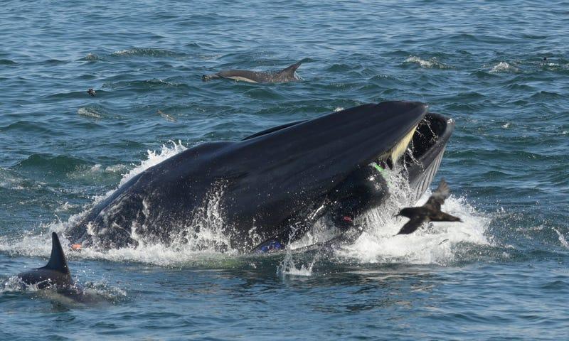 Illustration for article titled Un fotógrafo sobrevive después de que una ballena lo engullera cuando nadaba en un banco de sardinas