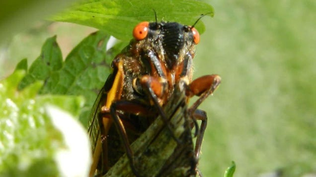 Millions of Noisy Cicadas to Emerge This Year After 17 Years Underground