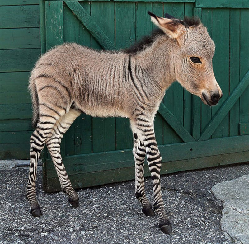 Illustration for article titled Dear Sweet Tiny Jesus, It's a Baby Zonkey