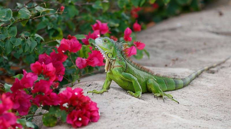A green iguana in Pembroke Pines, Florida.