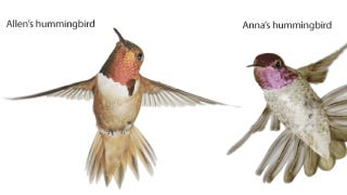 Illustration for article titled Hummingbirds dive to sing with their tails