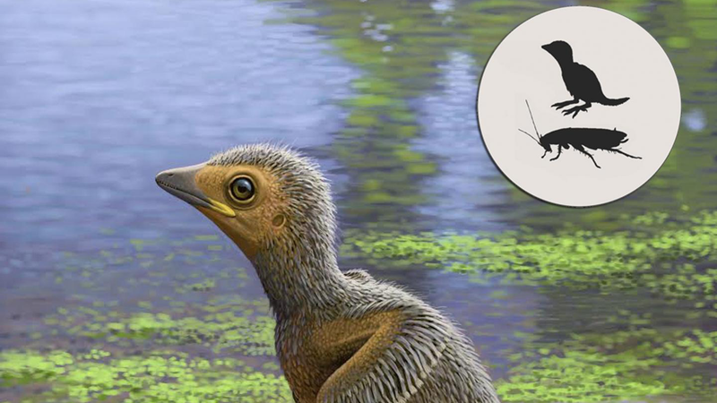 Artist's impression of the baby bird, based on a recently discovered fossil.