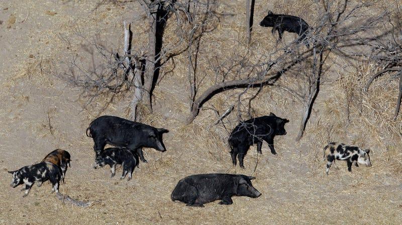 Wenn Sie denken, 30-50 wilde Schweine klingt schlecht, warten Sie einfach