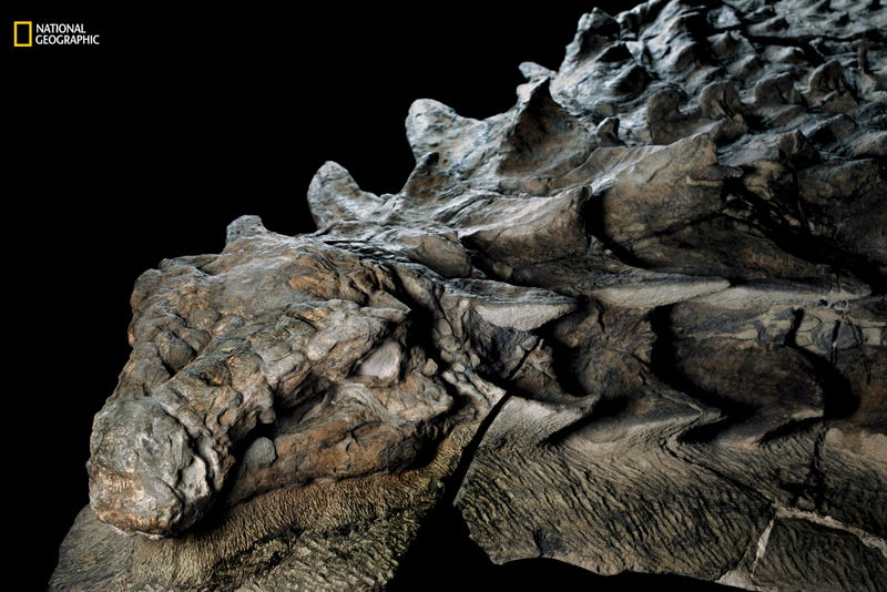 This 110 million year old fossil of an armored nodosaur is now on display at a natural history museum in Alberta, Canada. Image Credit and Copyright: Robert Clark/National Geographic