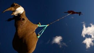 Illustration for article titled Please Be Careful With The Dangling Rhino