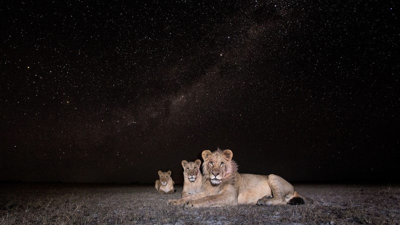 A pride of lions at night. (All images: Burrard-Lucas Wildlife Photography. Used with permission.)