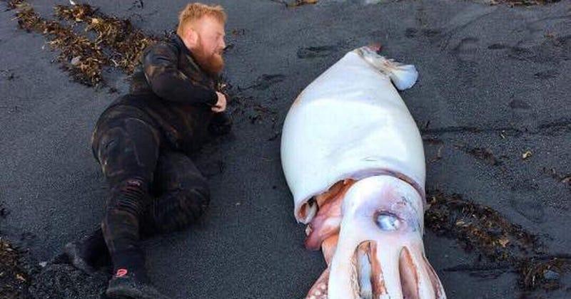 Illustration for article titled Encuentran un calamar gigante de más de cuatro metros en la costa de Nueva Zelanda