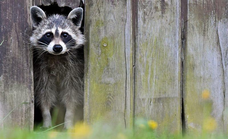German raccoon with soulful eyes.