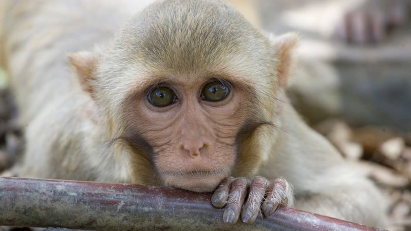 A rhesus macaque monkey rests his chin on a water pipe on Cayo Santiago, known as Monkey Island off the eastern coast of Puerto Rico. Rhesus macaques are common subjects of primate research.