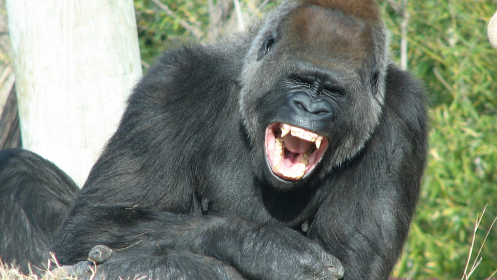 Grinning gorillas could help explain the origins of human ...
