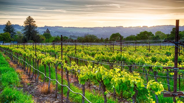 Learn Winemaking While Living in Sonoma & Earning $10K per Month