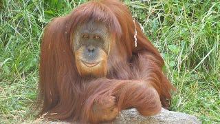 Illustration for article titled Orangutan populations develop different cultures just like humans