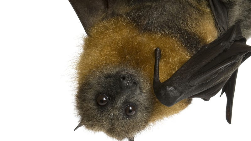 Illustration for article titled Latest Ebola Outbreak Caused By Bat Play, Horrifying Rain of Bats
