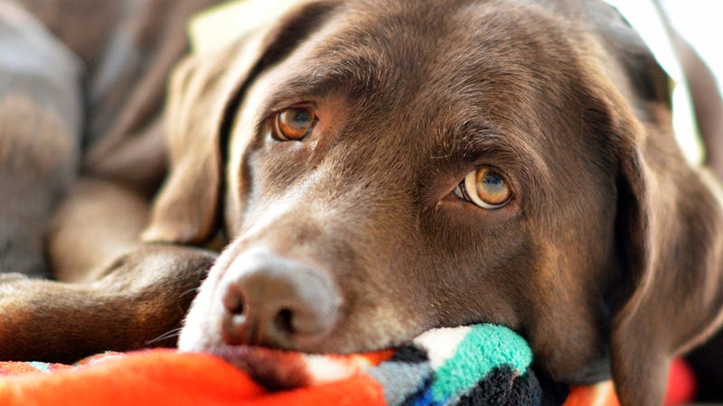 Demand for Chocolate Labs Is Making Them Sick and Prone to
