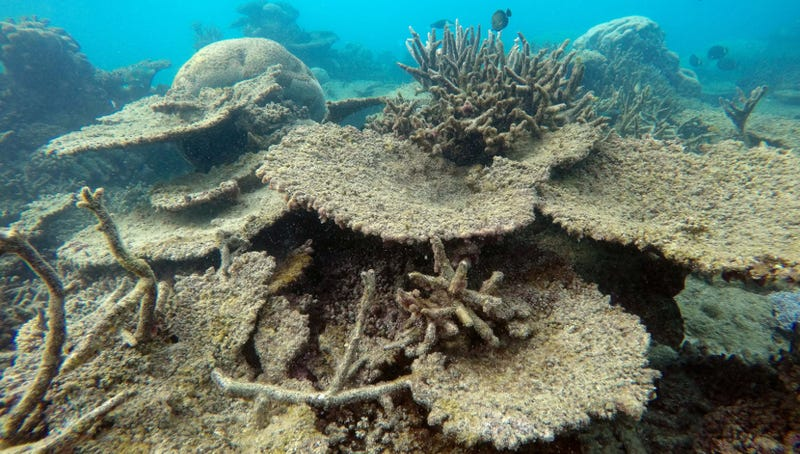 Dead table corals killed by bleaching, Northern GBR, November 2016. (Image: ARC Centre of Excellence For Coral Reef Studies)