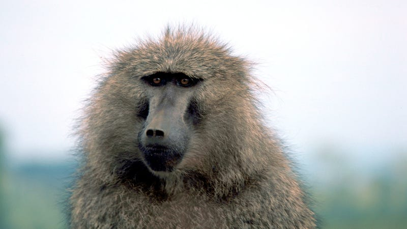 An olive baboon, the same species used in the study.