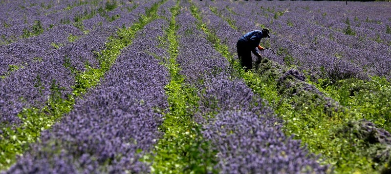 A man gathers lavender flowers during harvest in Bulgaria (AP Photo/Valentina Petrova)