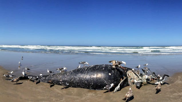 Solar Storms Could Confuse Whales and Cause Mass Strandings