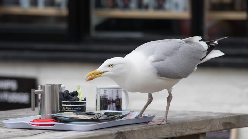 How to Stop Gulls From Stealing Your Food or At Least Make Them Feel Guilty About It