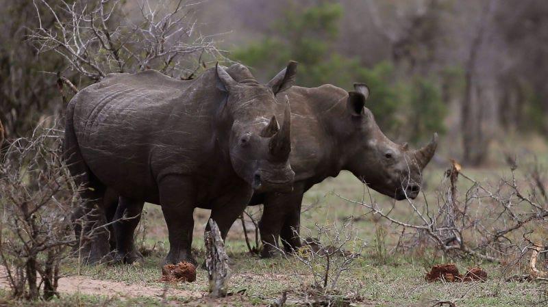 Rhinoceronces pastando en el Parque Kruger.Denis Farrell (AP)