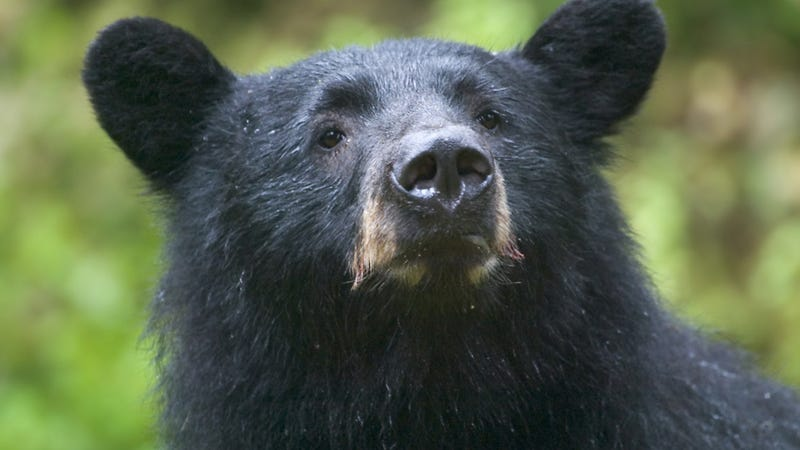 the bear analysis
