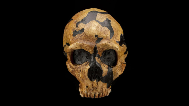 The Shanidar Neanderthal skull. This individual suffered a violent blow to the left side of his face, leaving him partially or totally blind in one eye.