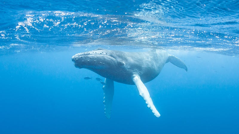 Why Whale Songs Are Still One Of Science's Greatest Mysteries