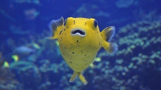 The First Western Fatalities Due to Puffer Fish Poisoning Were Pigs