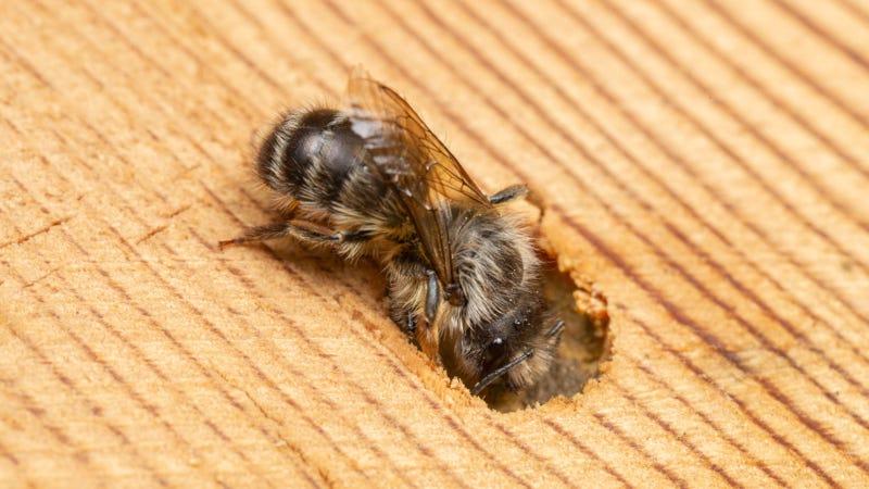 Osmia cornifrons, una abeja silvestre que anida en la madera.