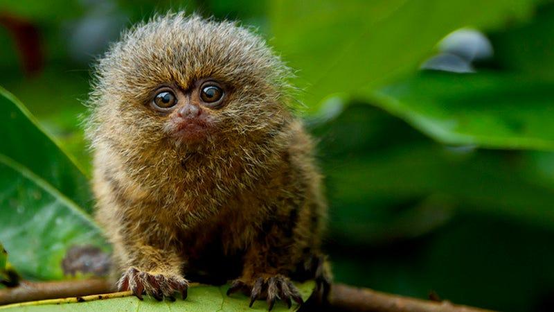 A pygmy marmoset monkey. (Image: Day Donaldson/The Speaker News/Flickr)