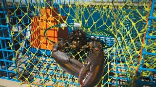 Illustration for article titled Time-Delayed Bait Release Gives Lobster Traps a Greater Haul