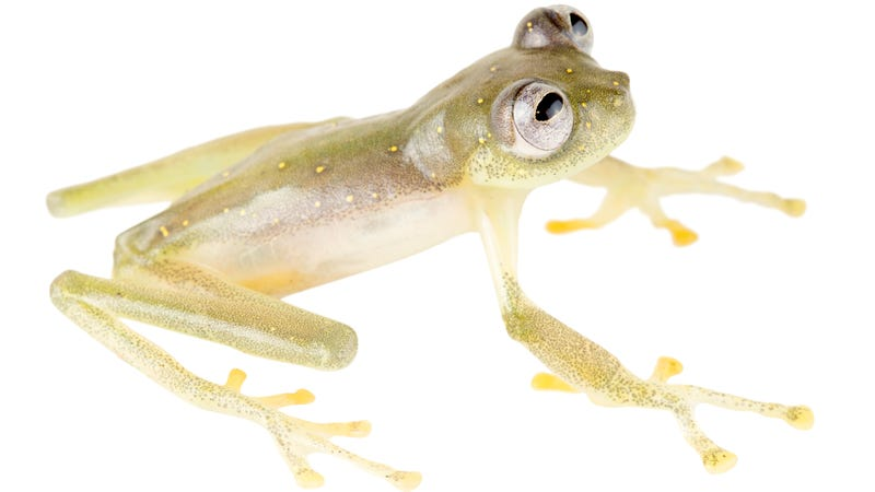 A male member of the new glass frog species, Nymphargus manduriacu