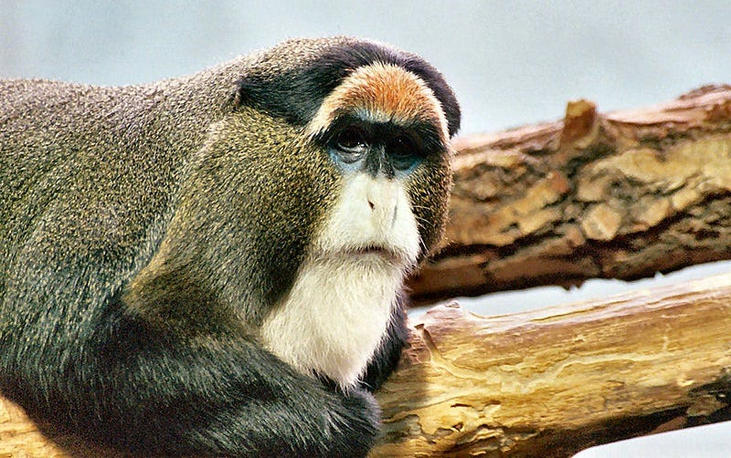 Illustration for article titled The De Brazza's Monkey: The Monkey With the Wizard Beard
