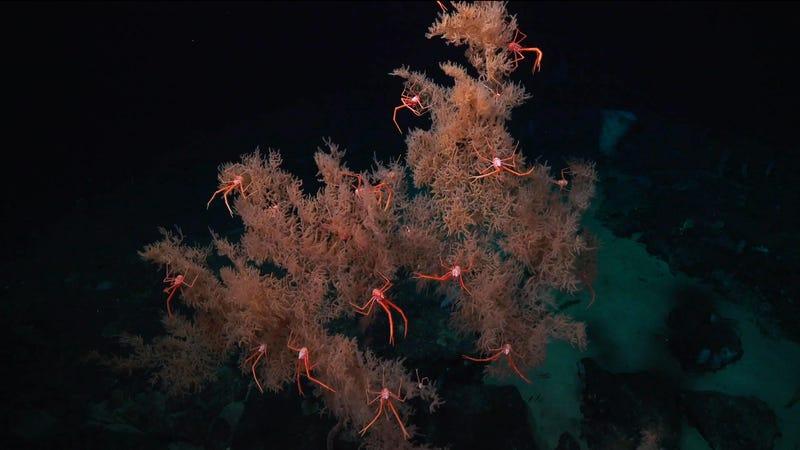 Чорний корал. Фото: Інституту океану Шмідта/Ерік Кордес