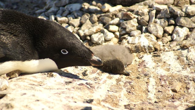 Mass Starvation of Penguin Chicks Could Help Birth New Antarctic Protections