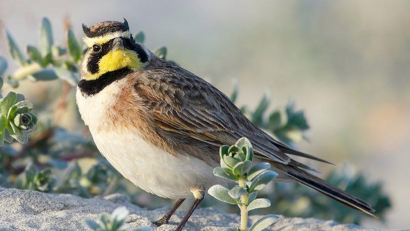 A male horned lark. Image: Marshal Hedin