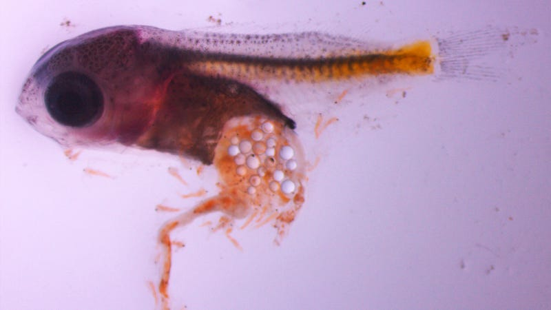 Damselfish larvae that has ingested microplastic particles. (Image: Oona M. Lönnstedt)