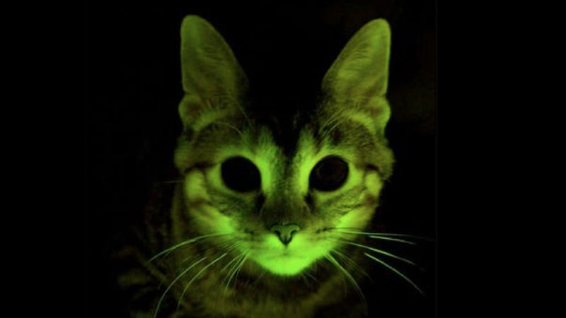 Illustration for article titled What can this glow-in-the-dark kitten teach scientists about AIDS?
