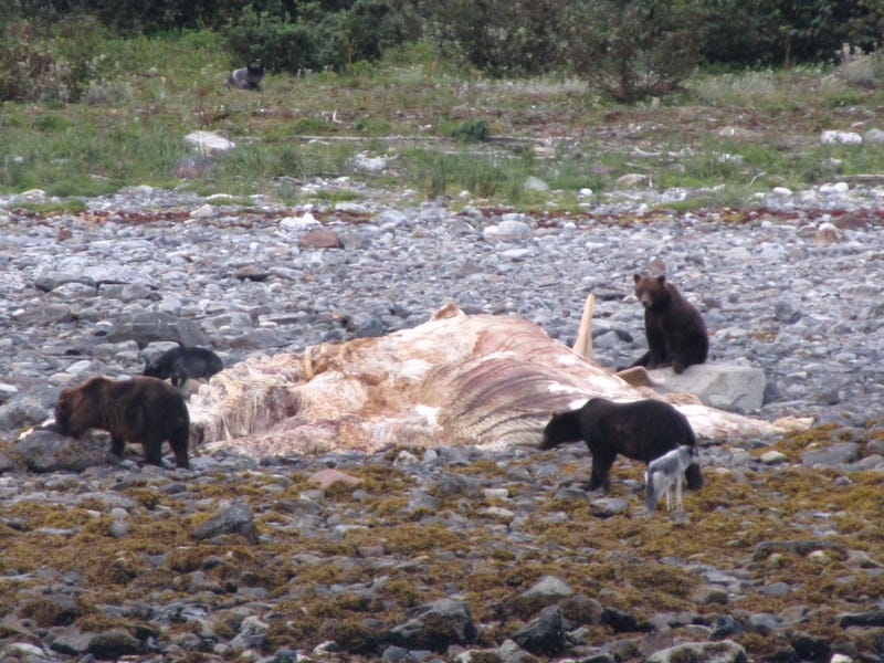 Illustration for article titled Gorgeous Photos Show Bears and Wolves Feasting Together on a Dead Whale