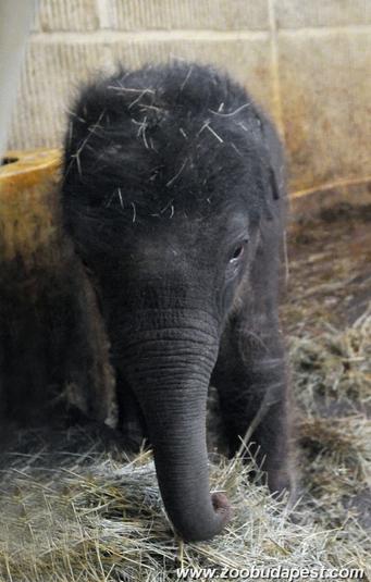 Illustration for article titled Az elefánt szájjal szopik, viszont nem lehet úgy megfejni, mint a tehenet