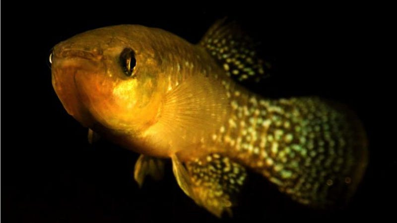 Atlantic killifish have adapted to highly toxic levels of pollution. (Image: Andrew Whitehead/UC Davis)