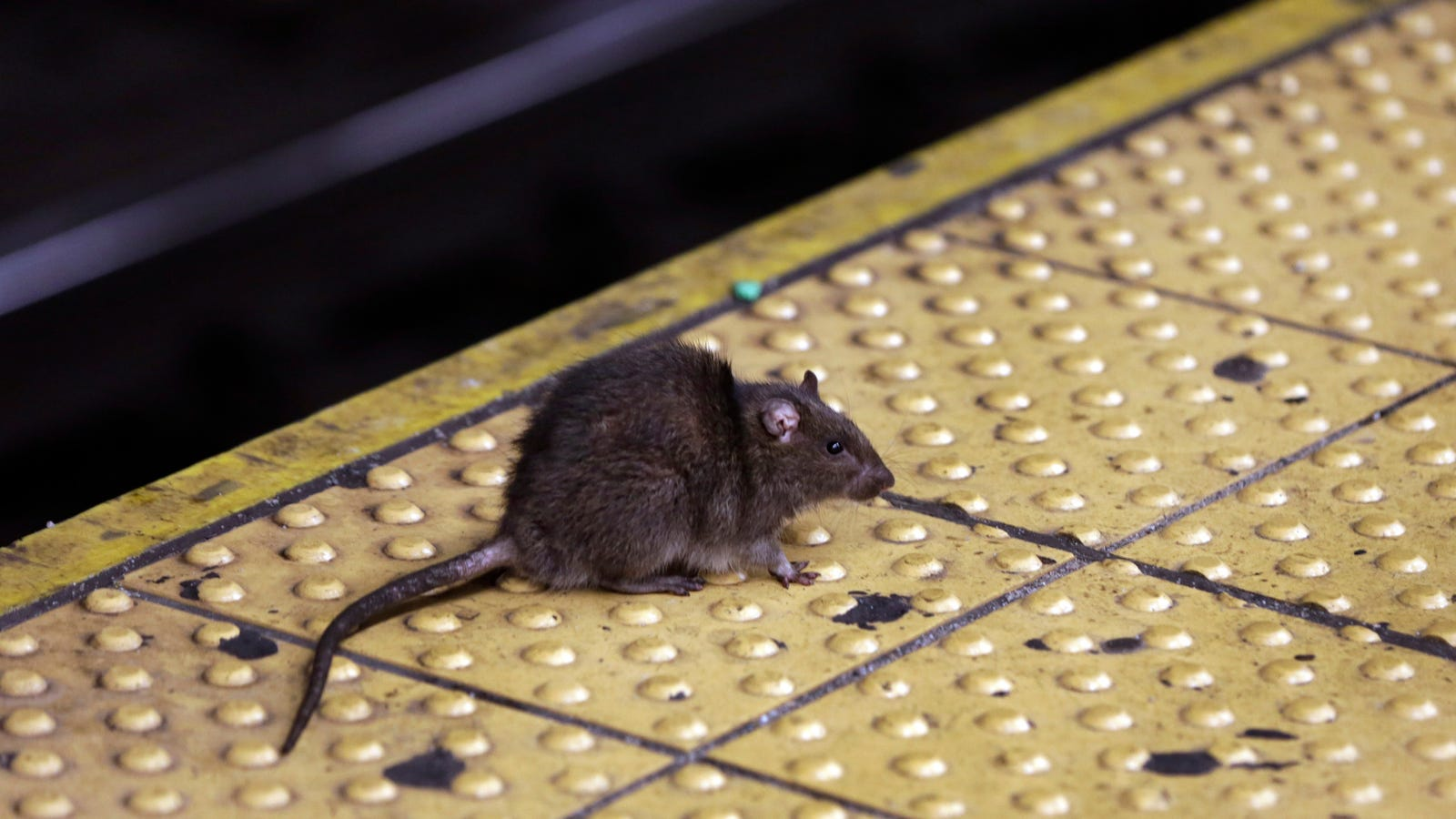 You're Not Mapping Rats, You're Mapping Gentrification